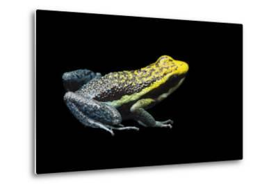 Rio Abiseo Morph of the Pepperi Poison Dart Frog, Ameerega Pepperi-Joel Sartore-Metal Print