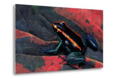 Phyllobates Vittatus (Golfodulcean Poison Frog)-Paul Starosta-Metal Print