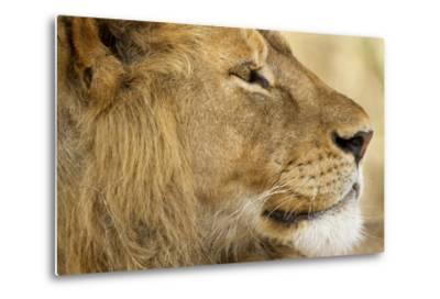 Lion, Ngorongoro Conservation Area, Tanzania--Metal Print