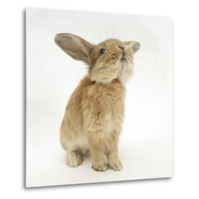 Lionhead-Cross Rabbit, Sniffing-Mark Taylor-Metal Print