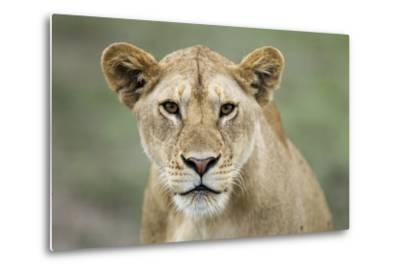 Portrait of Lioness--Metal Print