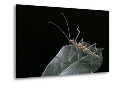 Epidares Nolimetangere (Touch Me Not Stick Insect)-Paul Starosta-Metal Print