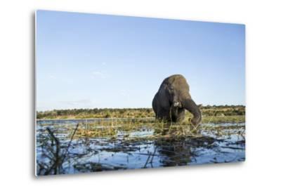 African Elephant, Chobe National Park, Botswana-Paul Souders-Metal Print