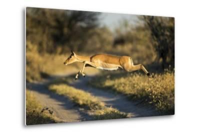 Leaping Impala, Moremi Game Reserve, Botswana-Paul Souders-Metal Print