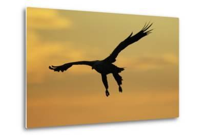 White Tailed Sea Eagle (Haliaeetus Albicilla) in Flight Silhouetted Against an Orange Sky, Norway-Widstrand-Metal Print