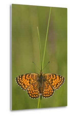 Glanville Fritillary Butterfly (Melitaea Cinxia) on Grass, Pollino Np, Basilicata, Italy, May-M?ller-Metal Print