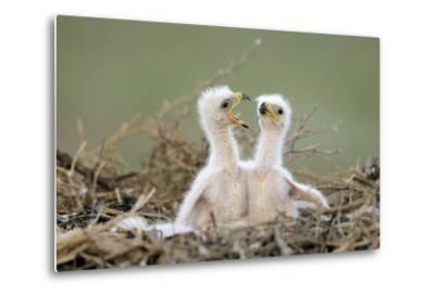 Steppe Eagle (Aquila Nipalensis) Chicks, Cherniye Zemli Nature Reserve, Kalmykia, Russia, May- Shpilenok-Metal Print