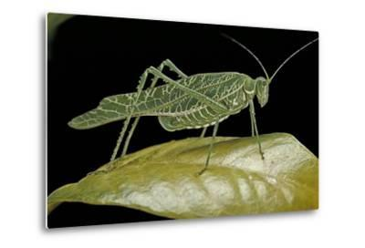 Katydid or Bush-Cricket or Long-Horned Grasshopper-Paul Starosta-Metal Print