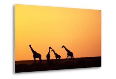 Giraffe Herd at Sunset--Metal Print