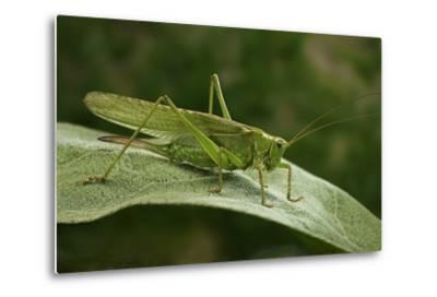 Tettigonia Viridissima (Great Green Bush-Cricket) - Female-Paul Starosta-Metal Print