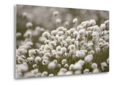 Harestail Cottongrass in Flower, Flow Country, Caithness, Highland, Scotland, UK, May-Peter Cairns-Metal Print