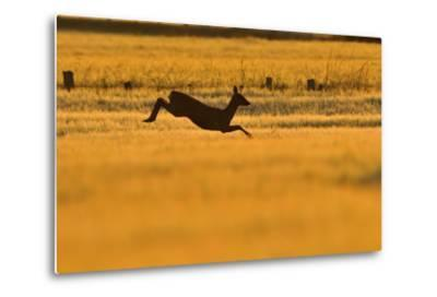 Roe Deer (Capreolus Capreolus) Doe Leaping Through Barley Field in Dawn Light. Perthshire, Scotland-Fergus Gill-Metal Print