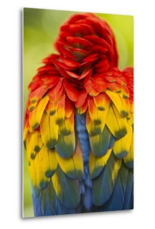 Scarlet Macaw, Costa Rica--Metal Print