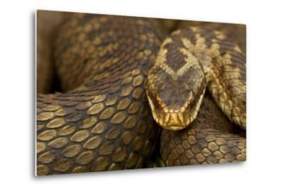 Adder (Vipera Berus) Basking in the Spring, Staffordshire, England, UK, April-Danny Green-Metal Print