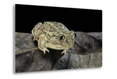 Spea Bombifrons (Plains Spadefoot Toad)-Paul Starosta-Metal Print
