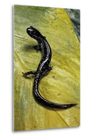 Plethodon Glutinosus (Northern Slimy Salamander)-Paul Starosta-Metal Print