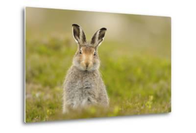 Mountain Hare (Lepus Timidus) Sub-Adult Leveret, Cairngorms National Park, Scotland, UK, July-Fergus Gill-Metal Print