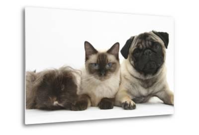 Fawn Pug, Burmese-Cross Cat and Shaggy Guinea Pig-Mark Taylor-Metal Print