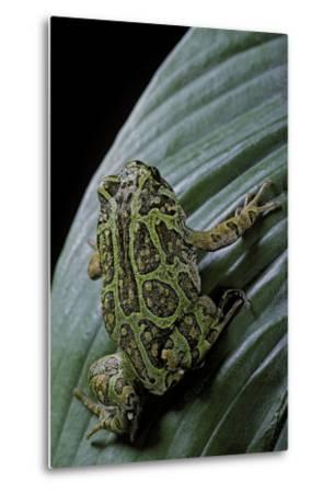 Scaphiophryne Madagascariensis (Madagascar Rain Frog)-Paul Starosta-Metal Print