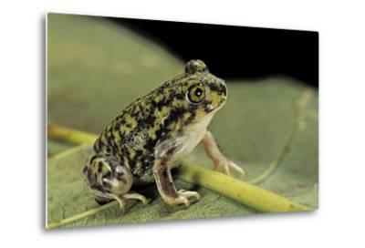 Scaphiopus Couchii (Couch's Spadefoot Toad)-Paul Starosta-Metal Print
