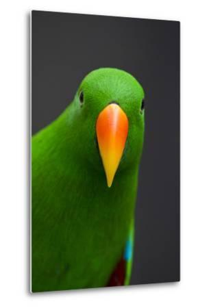 A Male Eclectus Parrot-Michael Melford-Metal Print
