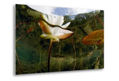 European White Water Lily (Nymphaea Alba) Flower, Bohuslän, Sweden-Lundgren-Metal Print