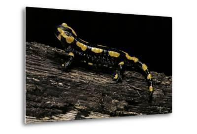 Salamandra Salamandra Terrestris (Fire Salamander)-Paul Starosta-Metal Print