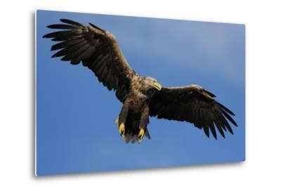 White Tailed Sea Eagle in Flight, North Atlantic, Flatanger, Nord-Trondelag, Norway, August-Widstrand-Metal Print