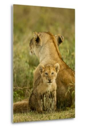 Lion Cub with Mother--Metal Print