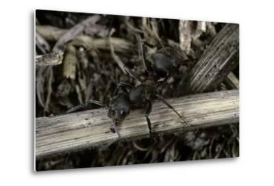 Formica Rufa (Red Wood Ant)-Paul Starosta-Metal Print