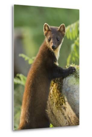 Pine Marten Juvenile in Woodland, Beinn Eighe National Nature Reserve, Wester Ross, Scotland, July-Mark Hamblin-Metal Print