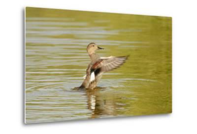 Gadwall (Anas Strepera) Female Duck Stretching Wings on Rutland Water, Rutland, UK, April-Terry Whittaker-Metal Print