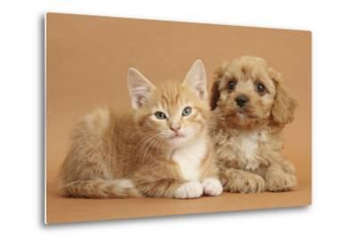 Cavapoo Puppy and Ginger Kitten-Mark Taylor-Metal Print