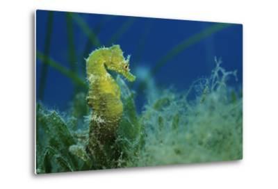 Short Snouted Seahorse (Hippocampus Hippocampus) Malta, Mediteranean, June 2009-Zankl-Metal Print