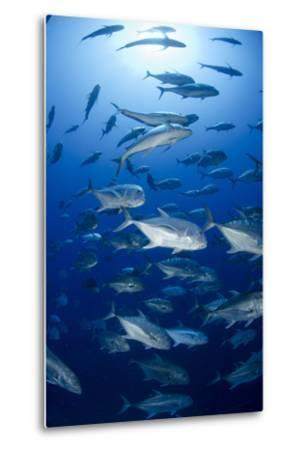 Giant Trevally (Caranx Ignobilis) Shoal Schooling-Mark Doherty-Metal Print