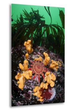 Red Sunstar (Crossaster Papposus) Amongst Dead Man's Fingers (Alcyonium Sp) Shetland Islands, UK-Alex Mustard-Metal Print