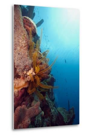Reef Scene with Feather Star, Dominica, West Indies, Caribbean, Central America-Lisa Collins-Metal Print