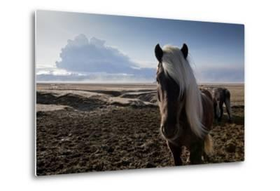 Icelandic Horses Near Ash Plume from Eyjafjallajokull Eruption--Metal Print