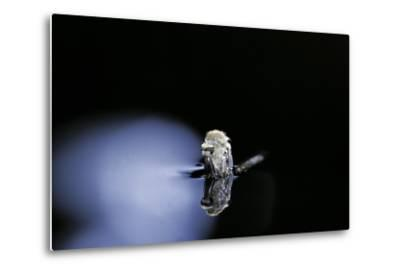 Culex Pipiens (Common House Mosquito) - Emerging (B3)-Paul Starosta-Metal Print