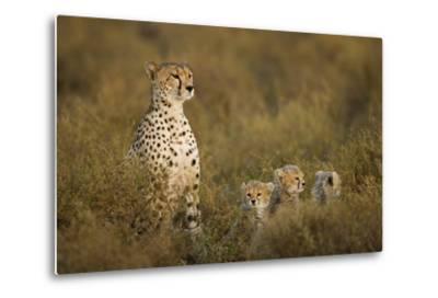 Cheetah Cubs and their Mother-Paul Souders-Metal Print