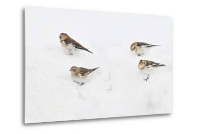 Snow Buntings (Plectrophenax Nivalis) Searching for Food in Snow, Cairngorms Np, Scotland, UK-Fergus Gill-Metal Print