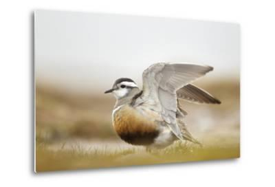 Adult Eurasian Dotterel (Charadrius Morinellus) with Wings Partially Raised, Cairngorms Np, UK-Mark Hamblin-Metal Print