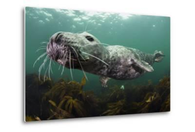 Female Grey Seal Juvenile Swimming over Kelp, Off Farne Islands, Northumberland-Alex Mustard-Metal Print