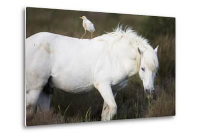 White Camargue Stallion with a Cattle Egret (Bulbulcus Ibis) on His Back, Camargue, France-Allofs-Metal Print