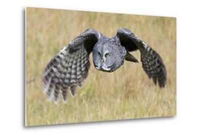 A Great Gray Owl's Wings are Preparing to Expand Out-Barrett Hedges-Metal Print