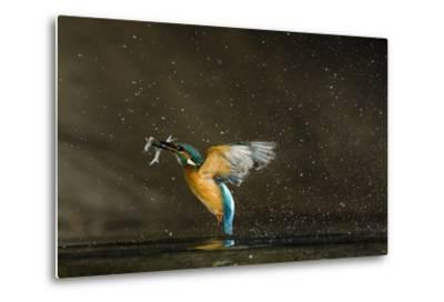 Kingfisher (Alcedo Atthis) Flying Out of Water Carrying Fish, Balatonfuzfo, Hungary, January 2009-Nov?k-Metal Print