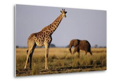 Giraffe and Elephant on the Savanna-Paul Souders-Metal Print