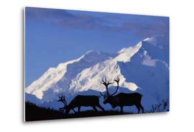 Caribou Grazing Near Wonder Lake Below Mt. Mckinley--Metal Print