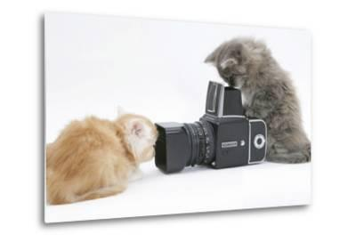 Two Maine Coon Kittens, 8 Weeks, Playing with a Hasselblad Camera-Mark Taylor-Metal Print