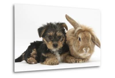 Yorkshire Terrier Puppy, 8 Weeks, with Sandy Lionhead-Cross Rabbit-Mark Taylor-Metal Print
